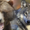Cabins, Wolves, Bears, Oh My!